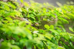 Cute Indochinese rat snake (Ptyas korros) is slithering on tree Stock Photography