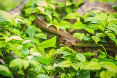 Cute Indochinese rat snake (Ptyas korros) is slithering on tree Stock Image