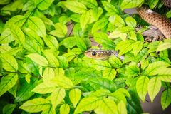 Cute Indochinese rat snake (Ptyas korros) is slithering on tree Stock Photo