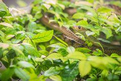 Cute Indochinese rat snake (Ptyas korros) is slithering on tree Stock Photos