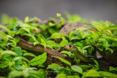 Cute Indochinese rat snake (Ptyas korros) is slithering on tree Royalty Free Stock Photos