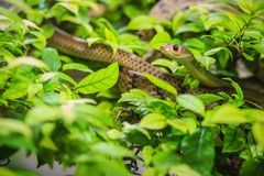 Cute Indochinese rat snake (Ptyas korros) is slithering on tree Royalty Free Stock Photography