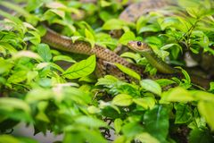 Cute Indochinese rat snake (Ptyas korros) is slithering on tree Stock Images