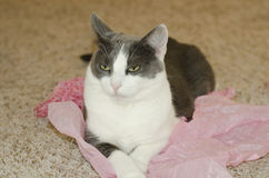 Small gray cat on pink tissue paper. Royalty Free Stock Images