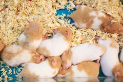 Cute innocent baby brown and white Syrian or Golden Hamsters sleeping on sawdust material bedding. Pet care, love, rodent animal. Farming, human friend or stock photo