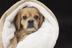 Cute innocent puppy wrapped in blanket isolated on black Stock Photography
