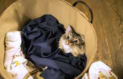 Cute inquisitive Kitten. Inquisitive and cute RagaMuffin kitten inside a washing basket Royalty Free Stock Images