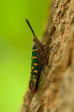 Cute insect in the wild. Lanternflies or lanthornflies is cute insect in the forest Royalty Free Stock Image