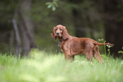 Cute Irish Setter puppy standing in forest and waiting to start with his hunting abilities stock image