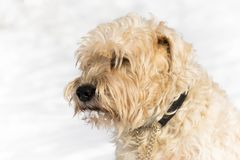 A cute irish wheaten softcoated terrier in a white winter day stock photo