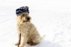 A cute irish wheaten softcoated terrier in a white winter day w royalty free stock photography