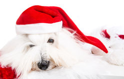 Cute isolated little baby dog wearing red santa hat for christma Royalty Free Stock Photo