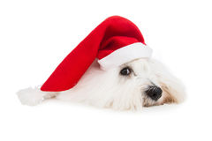 Cute isolated little baby dog wearing red santa hat for christma Royalty Free Stock Photography