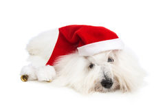 Cute isolated little baby dog wearing red santa hat for christma Royalty Free Stock Images