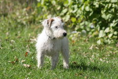 Cute Jack. Russel Terrier puppy in yard stock photography