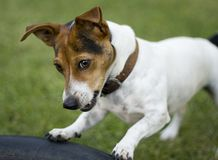 Cute jack russel dog Royalty Free Stock Photo