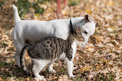 Cute jack russel dog and kitten best friends Royalty Free Stock Photography