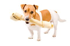 Cute jack russel is holding a big bone Royalty Free Stock Photos