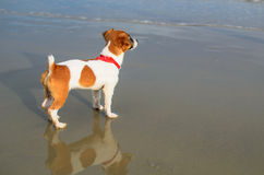 Cute jack russel puppy on the beach Royalty Free Stock Images
