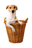 Cute jack russel sitting in a basket Royalty Free Stock Image