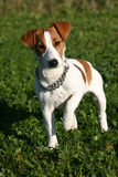 Cute jack russel terrier. Little puppy purebreed jack russel terrier in a field: cute companion stock photo