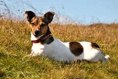 Cute Jack Russel Terrier Lying in Grass Looking. At the Camera Royalty Free Stock Photos