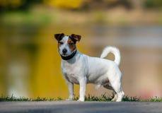 Cute Jack russel terrier royalty free stock photo