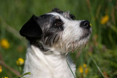 Cute Jack Russel Terrier Royalty Free Stock Image