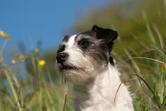 Cute Jack Russel Terrier Stock Images