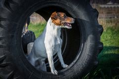 Jack Russel terrier stands in tyre. Cute Jack Russel terrier stands in tyre on a dog training area Stock Images