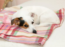 Cute Jack Russell on the bed Royalty Free Stock Images