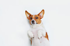Cute jack russell dog with high top view lying on light backgrou Stock Images