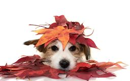 CUTE JACK RUSSELL DOG LYING DOWN PLAYING WITH RED COLORFUL AUTUMN LEAVES, LOOKING AT CAMERA. ISOLATED SHOT AGAINST WHITE
