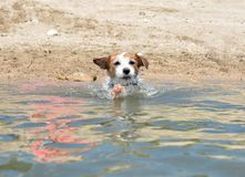 CUTE JACK RUSSELL DOG PLAYING IN WATER WITH A LITTLE SPLASH IN A stock photos