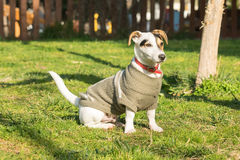 Cute Jack Russell dog portrait at a park. Stock Images
