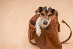 Cute jack russell doggy in a bag royalty free stock photography
