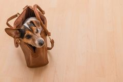 Cute jack russell doggy in a bag royalty free stock photos