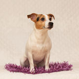 Cute jack russell lying on purple blanket Royalty Free Stock Photo