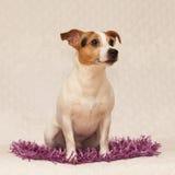 Cute jack russell lying on purple blanket Royalty Free Stock Photo