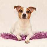 Cute jack russell lying on purple blanket Royalty Free Stock Image