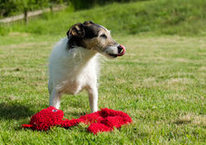 Cute Jack Russell Royalty Free Stock Photos