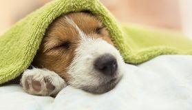 Cute Jack Russell puppy dog sleeping after grooming. Cute Jack Russell terrier puppy dog sleeping after grooming and bath - web banner idea stock photography