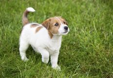 Cute Jack Russell puppy dog walking. In the grass and looking Stock Photos