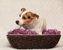Cute jack russell on purple blanket in basket Royalty Free Stock Photos