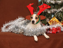 Cute Jack russell with reindeer antlers in a chri Stock Image