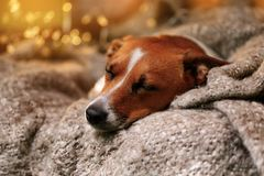 Cute jack russell resting or sleeping under a blanket. Stock Photo