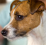 Cute Jack Russell Terrier Stock Photography