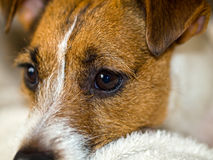 Cute Jack Russell Terrier Royalty Free Stock Images