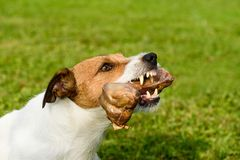 Snarling dog shows teeth and fangs defending its bone