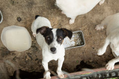 Cute Jack russell terrier. Royalty Free Stock Photography